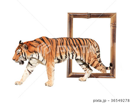 Tiger coming out of a bamboo frame with 3d effectの写真素材 [36549278] - PIXTA