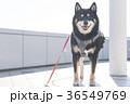黒柴犬 柴犬 犬の写真 36549769