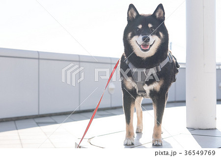 黒柴犬 36549769