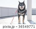 黒柴犬 柴犬 犬の写真 36549771