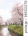 七谷川 和らぎの道の桜 36552270