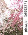 七谷川 和らぎの道の桜 36552271
