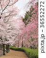 七谷川 和らぎの道の桜 36552272
