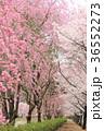 七谷川 和らぎの道の桜 36552273