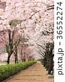 七谷川 和らぎの道の桜 36552274