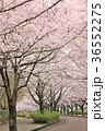 七谷川 和らぎの道の桜 36552275