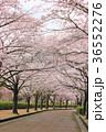 七谷川 和らぎの道の桜 36552276