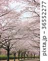 七谷川 和らぎの道の桜 36552277