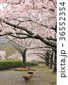 七谷川 和らぎの道の桜 36552354