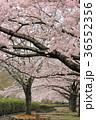 七谷川 和らぎの道の桜 36552356
