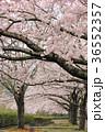 七谷川 和らぎの道の桜 36552357