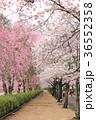 七谷川 和らぎの道の桜 36552358
