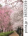 七谷川 和らぎの道の桜 36552359