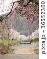 七谷川 和らぎの道の桜 36552360