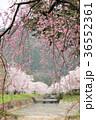七谷川 和らぎの道の桜 36552361