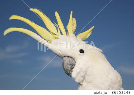 キバタン 空と黄色い冠羽の写真素材 [36553243] - PIXTA