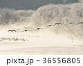 タンチョウ ツル 樹氷の写真 36556805
