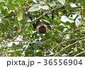 ヤエヤマオオコウモリ 36556904