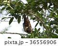 ヤエヤマオオコウモリ 36556906