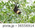 ヤエヤマオオコウモリ 36556914