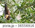 ヤエヤマオオコウモリ 36556916