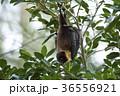 ヤエヤマオオコウモリ 36556921