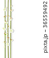梅 白梅 花のイラスト 36559492