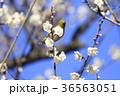 梅とメジロ 36563051