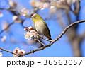 梅とメジロ 36563057