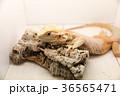 動物 イグアナ は虫類の写真 36565471