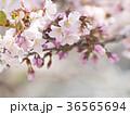 千島桜すこし寄り 36565694