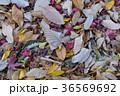 落ち葉 落葉 枯れ葉の写真 36569692