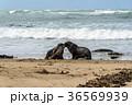 野性のオットセイの親子 ニュージーランド 36569939