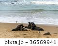 野性のオットセイの親子 ニュージーランド 36569941