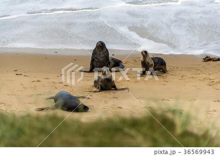 野性のオットセイの親子 ニュージーランド 36569943