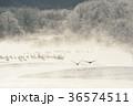 タンチョウ 樹氷 飛翔の写真 36574511