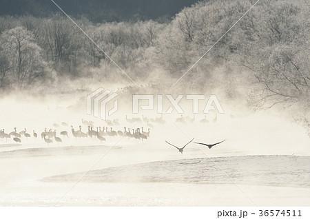 樹氷に囲まれたねぐらから飛び立つタンチョウ(北海道・鶴居) 36574511