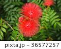 合歓の木 ネムの花 花の写真 36577257