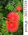 合歓の木 ネムの花 花の写真 36577259