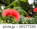 合歓の木 ネムの花 花の写真 36577265