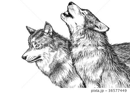 オオカミ_ペン画 36577449
