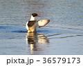 カワアイサの羽ばたき 36579173