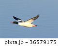 カワアイサ雄の飛翔 36579175