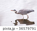 あおさぎ アオサギ 青鷺の写真 36579791