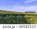 美瑛町 丘 夏の写真 36582523