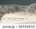 タンチョウ ツル 樹氷の写真 36584650