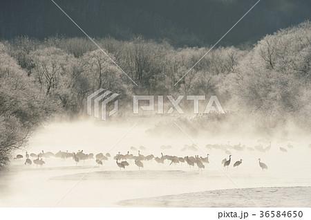 樹氷に囲まれたタンチョウの塒(北海道・鶴居) 36584650