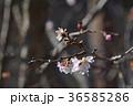 ジュウガツザクラ 桜 花の写真 36585286