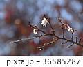 ジュウガツザクラ 桜 花の写真 36585287