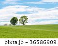 美瑛 北海道 畑の写真 36586909